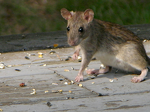 Norway rat: Many studies have indicated that the Norway rats, scientifically known as rattus norvegicus, do not only live for quite a long time but are also among the highly successful species in the rodents' family. The Norway rats are also referred to as street rat, common rat, Norwegian rat, Hanover rat and sewer rat.  Norway rats can cause the following damage:   They carry a lot of pathogens such as the typhus, bubonic plague, toxoplasmosis, Weil's disease as well as the trichinosis. The waste of these rats can contaminate the food and water in your home which can lead to the potential spread of the above diseases.     Rats can literally chew electrical cables; a fact that can lead to huge losses in case of short circuits. And, that is why a place that has been infested by these rodents is not safe at all. Treatment: The removal of Norway rats is very difficult so it is important to reach out to a licensed professional Prevention: ●Make sure there are no spilt seeds around your bird feeders. You can as well make sure that the feeders are not stationed at places where the rats will easily see them ●Cut any trees that are or might be hanging over your building ●Seal off any holes that serve as entrances to your building. In most cases, these rats make their entry holes around doors, roofs and windows ●Make sure that the containers that you use in storing your food, water as well as garbage are tightly sealed.